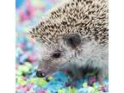 Adopt Shaq-quil O'neil a Hedgehog small animal in Middletown, RI (25348437)