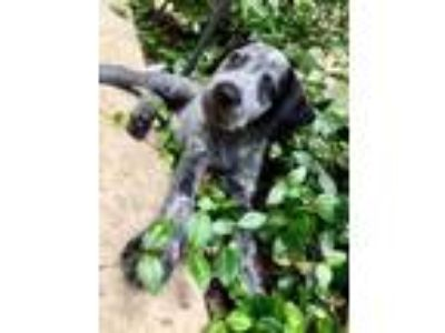 Adopt Buzz a German Shorthaired Pointer