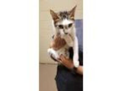 Adopt Nigeria* a White Domestic Shorthair / Domestic Shorthair / Mixed cat in