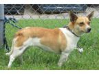 Adopt Harley a White - with Brown or Chocolate Jack Russell Terrier / Mixed dog