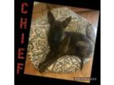 Adopt CHIEF a German Shepherd Dog, Dutch Shepherd