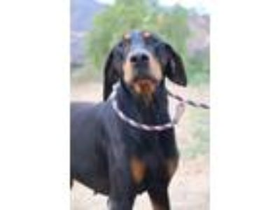Adopt Kaiser a Black - with Tan, Yellow or Fawn Doberman Pinscher / Mixed dog in