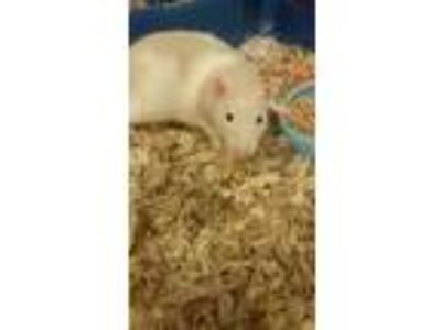 Adopt Mr. Bo Jangles a Rat