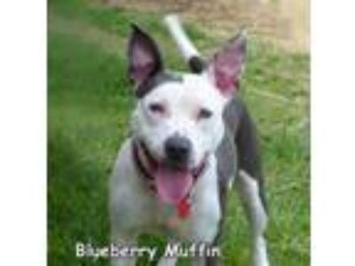 Adopt Blueberry Muffin a American Staffordshire Terrier