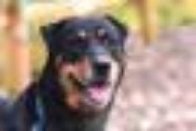 Dougie Rottweiler - Shar Pei Dog