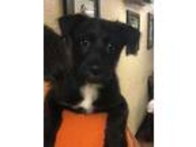 Adopt Boomer a Black Terrier (Unknown Type, Small) / Mixed dog in Gettysburg