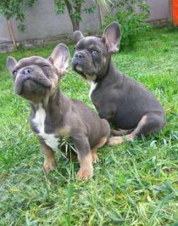 French Bulldog PUPPY FOR SALE ADN-79285 - Merle Brothers Frenchie