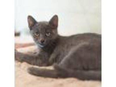 Adopt Hannah a Gray or Blue Domestic Shorthair / Domestic Shorthair / Mixed cat