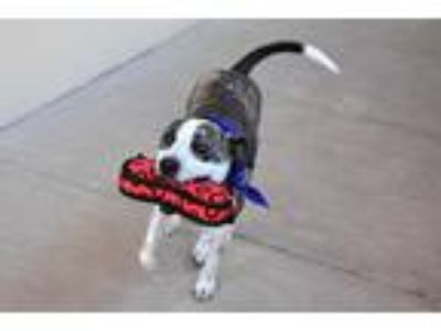 Adopt Shadow a Brindle - with White Australian Cattle Dog / Mixed dog in