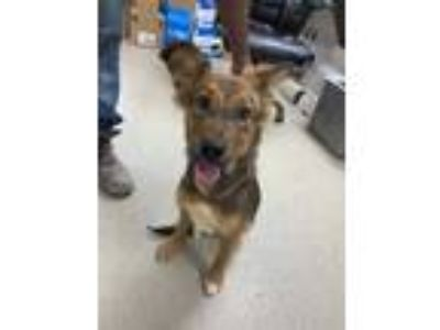 Adopt CoCo a Tan/Yellow/Fawn Australian Shepherd / German Shepherd Dog / Mixed