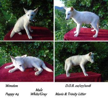 Wolf Hybrid PUPPY FOR SALE ADN-95161 - Nordogs Wolf Dogs Wenston