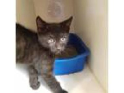 Adopt Rocco a Domestic Shorthair / Mixed cat in Riverside, CA (25569458)