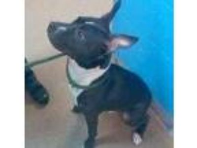 Adopt Sky a Black American Pit Bull Terrier / Mixed dog in Washington