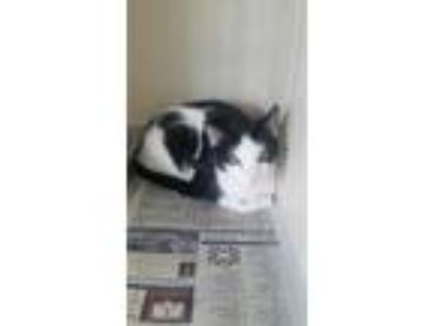 Adopt Fluffy a All Black Domestic Shorthair / Domestic Shorthair / Mixed cat in