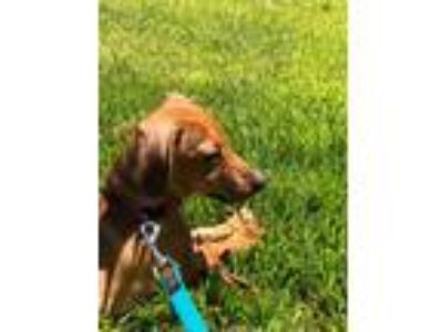Adopt Maggie a Red/Golden/Orange/Chestnut Dachshund / Mixed dog in Collingswood