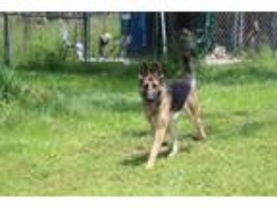 Adopt Gretchen a German Shepherd Dog