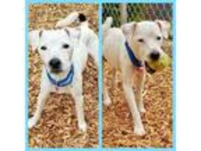 Adopt JACK JACK a White - with Black Jack Russell Terrier / Mixed dog in Tacoma