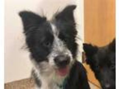 Adopt ZEUS a Merle Border Collie / Mixed dog in Albuquerque, NM (25253527)