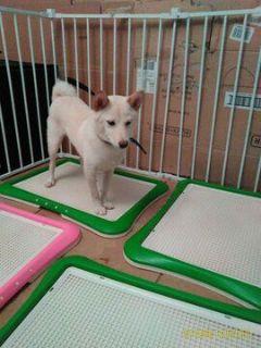 Shiba Inu DOG FOR ADOPTION ADN-109371 - White Shiba Inu female Gentle Personality