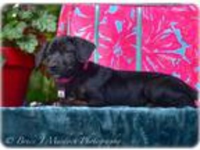 Adopt Canary a Labrador Retriever