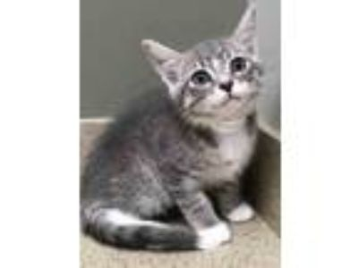 Adopt Marvin a Gray, Blue or Silver Tabby Domestic Shorthair (short coat) cat in