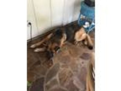 Adopt Missy a Brown/Chocolate - with Tan German Shepherd Dog dog in Homestead