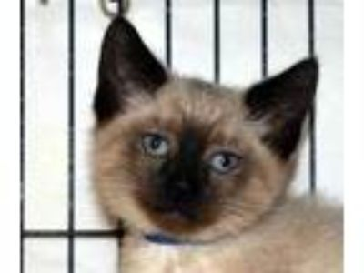 Adopt Apple a Cream or Ivory Siamese / Domestic Shorthair / Mixed (short coat)