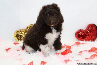 Saintberdoodle puppies Non shedding Hypoallergenic