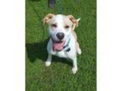 Adopt CaptainCrunch a White - with Tan, Yellow or Fawn Labrador Retriever /