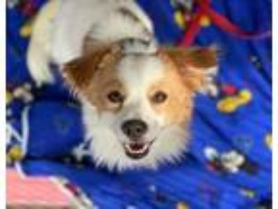 Adopt Kerry a White Spaniel (Unknown Type) / Mixed dog in Fremont, CA (24998863)