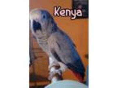 Adopt Kenya and Chico a African Grey