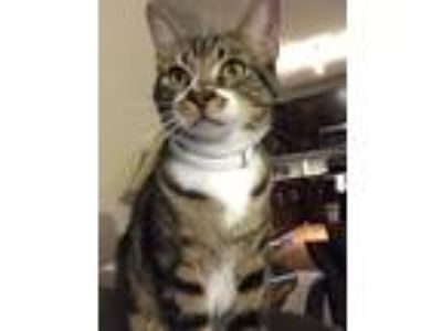Adopt Swirl a Spotted Tabby/Leopard Spotted Domestic Shorthair cat in Odessa