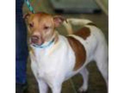 Adopt JACKSON a Labrador Retriever, Terrier
