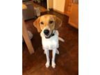 Adopt George a Great Pyrenees, Hound