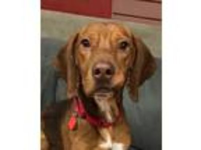 Adopt Canelo a Red/Golden/Orange/Chestnut Beagle / Basset Hound / Mixed dog in