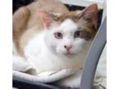 Adopt Spring a White Domestic Shorthair / Domestic Shorthair / Mixed cat in