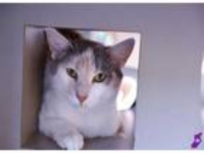 Adopt VENUS a Calico or Dilute Calico Domestic Shorthair / Mixed (short coat)