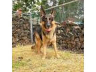 Adopt Sundance Kid a German Shepherd Dog