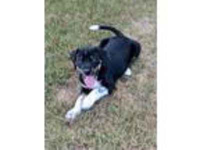 Adopt Franklin a Black - with White Beagle dog in Milton, GA (25195192)