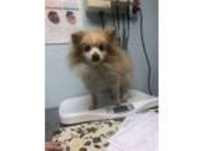 Adopt Beethoven a Pomeranian