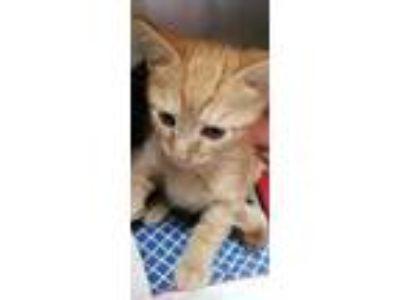 Adopt Roman a Orange or Red Domestic Shorthair / Domestic Shorthair / Mixed cat