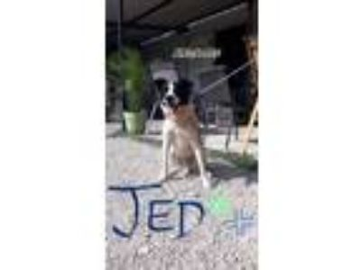 Adopt Jed a Border Collie, Australian Cattle Dog / Blue Heeler