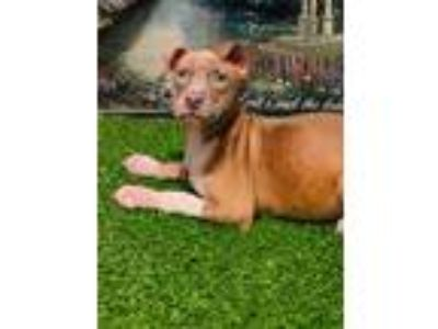 Adopt Puppy2 a Tan/Yellow/Fawn - with White Weimaraner / American Pit Bull