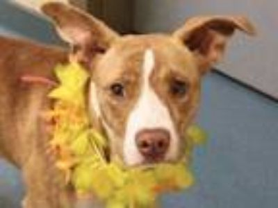 Adopt BABY GAL a Brown/Chocolate - with White Mixed Breed (Medium) / Mixed dog