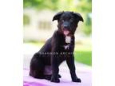Adopt Cinder a Black Labrador Retriever / Siberian Husky / Mixed dog in Macon