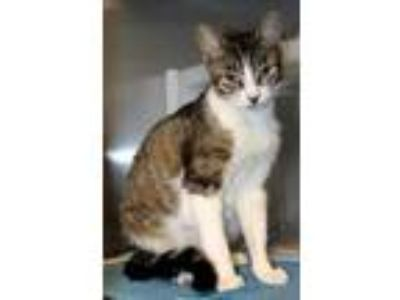 Adopt Mary-Kate a Domestic Short Hair