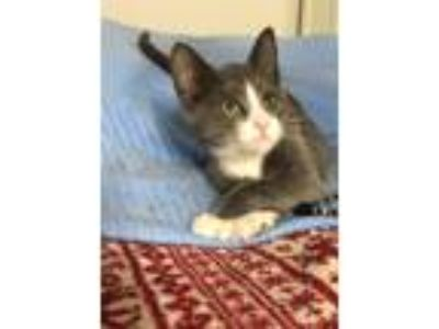 Adopt Alice a Gray or Blue (Mostly) Domestic Shorthair (short coat) cat in Bay