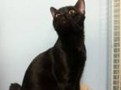 Adopt Iggy a All Black Domestic Shorthair / Mixed cat in Margate, FL (24559519)