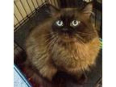Adopt Blu a Brown or Chocolate Domestic Longhair / Domestic Shorthair / Mixed