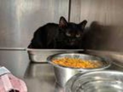 Adopt GUY a All Black Domestic Shorthair / Mixed (short coat) cat in Fruit